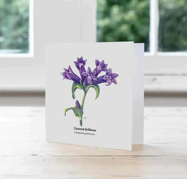 Hand Illustrated Greetings card of Clustered Bellflower for retailers only