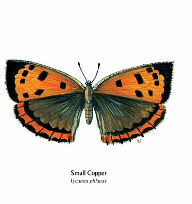 Hand Illustrated Small Copper Butterfly Card