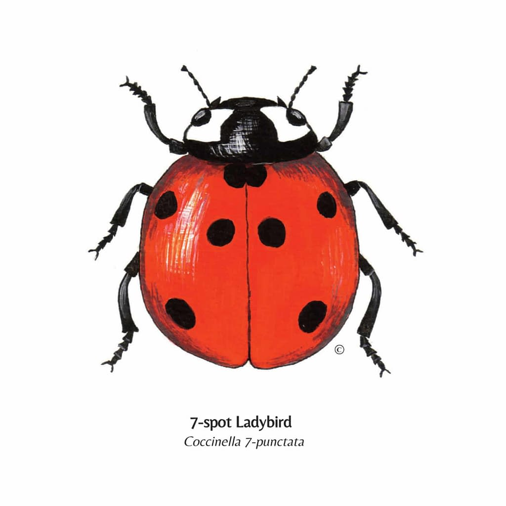 Hand Illustrated 7 - Spot Ladybird Card for retail purchase