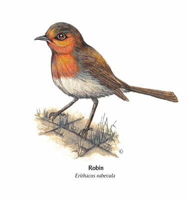 Hand Illustrated British Robin Card
