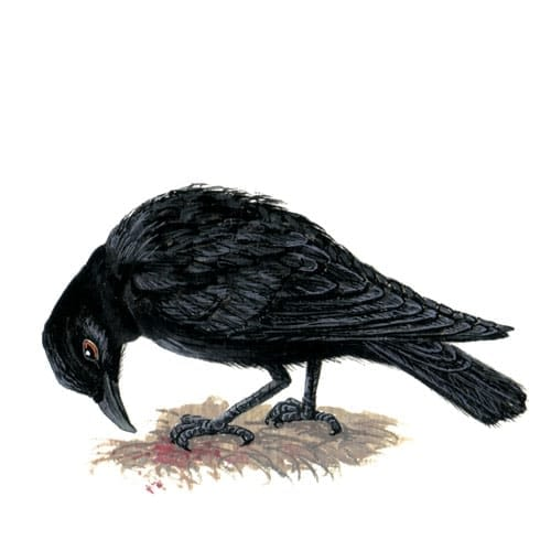 Crow illustration for product design