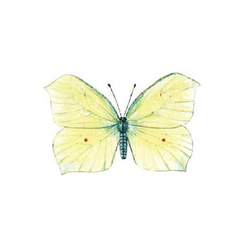 Brimstone Butterfly illustration