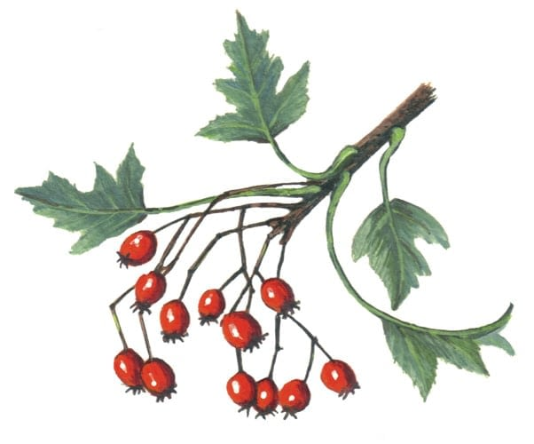 Hawthorn Branch Berries illustration for product design