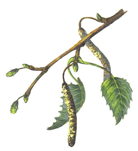 Silver Birch Branch Illustration for product design