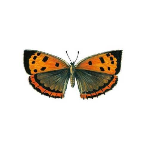 Lady-copper Butterfly Illustration for product design