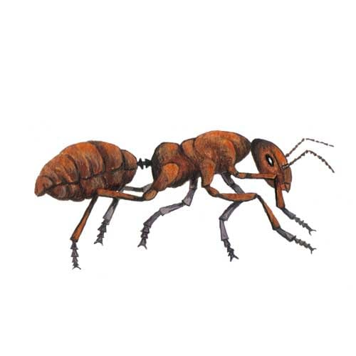 Red Ant illustration for product design