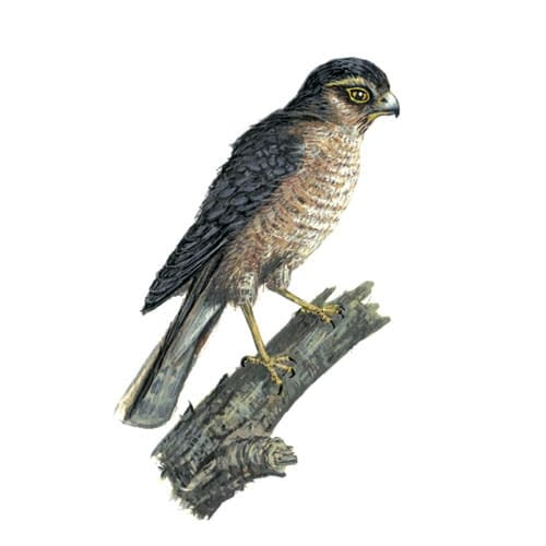 Sparrowhawk illustration for product design