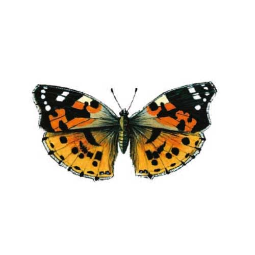 painted-lady Butterfly Illustration for product design
