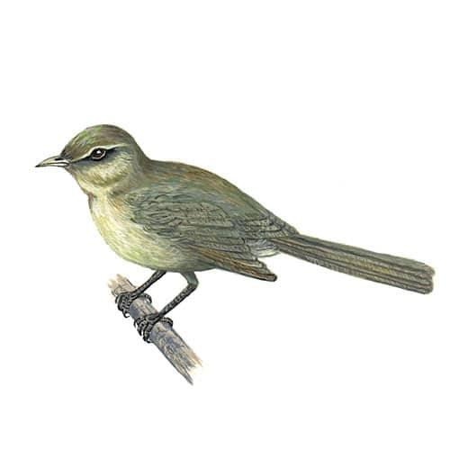 chiffchaff- illustration for product design
