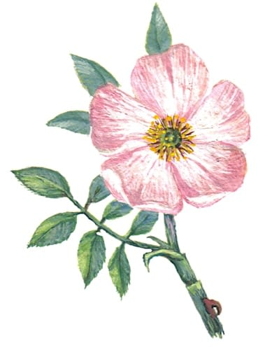 Dog Rose Flower Illustration for product design