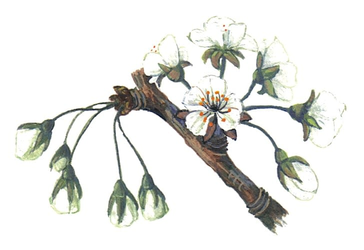 Wild Cherry flowers Illustration to license