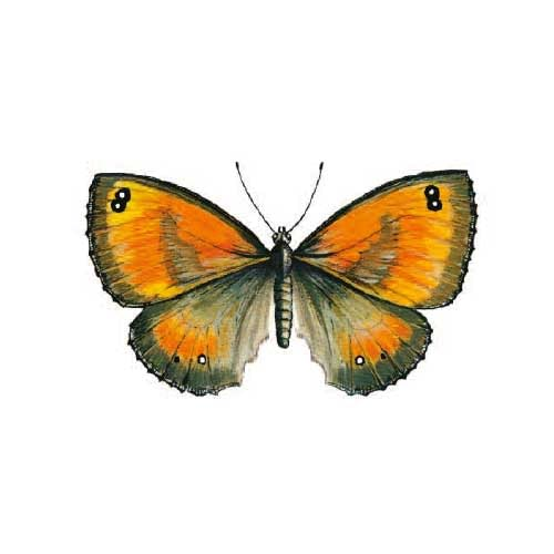 Garekeeper Butterfly Illustration for product design