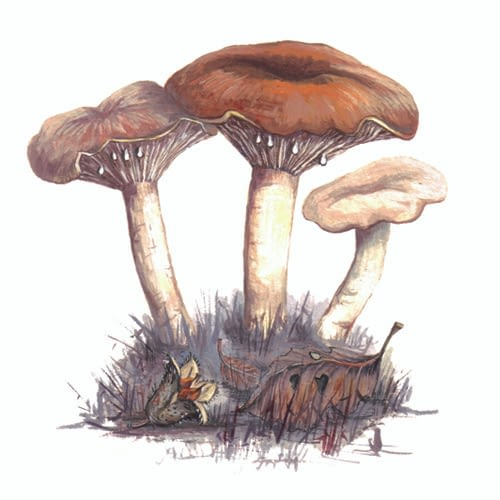 Milkcap fungi illustration for product design