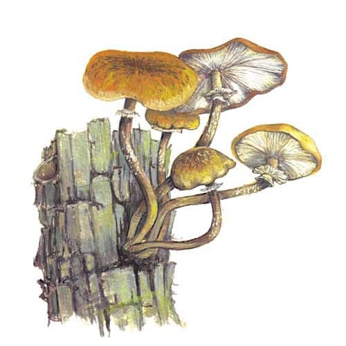 Honey Fungus illustration for product design