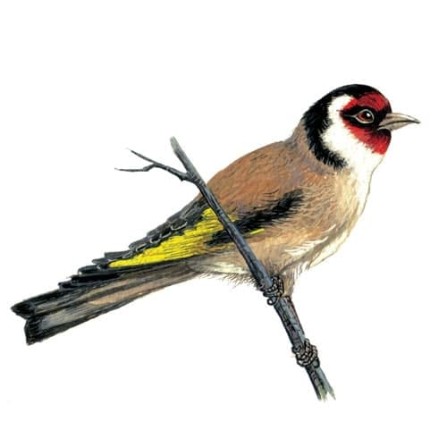 goldfinch illustration for product design