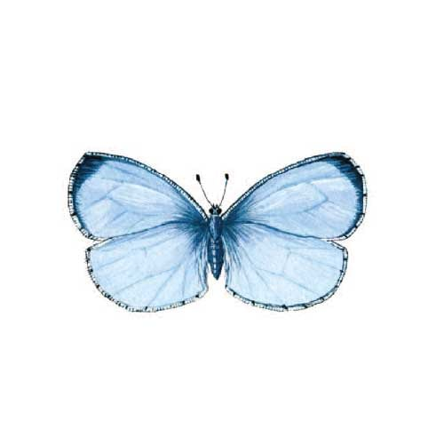 holy-blue Butterfly Illustration for product design