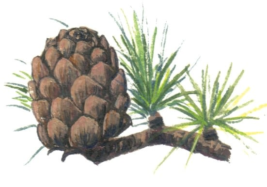 Larch Cone illustration for product design