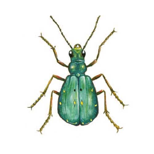 Green-tiger-beetle illustration for product design