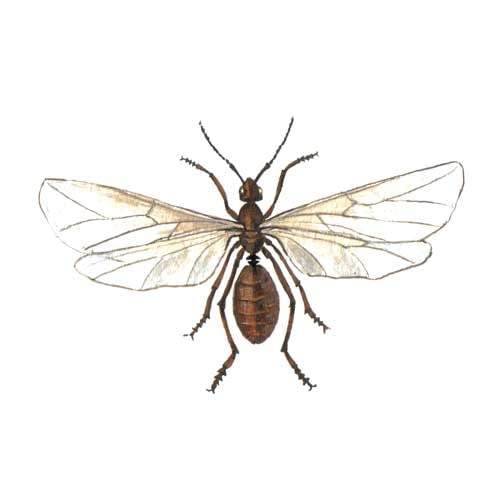 Ant Red Wings illustration for product design