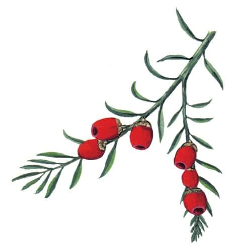 Yew branch illustration for product design