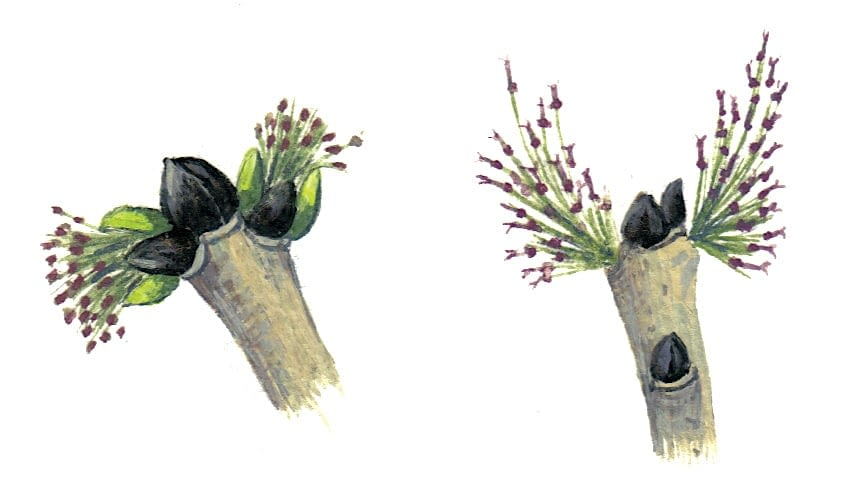 Ash Flowers Illustration for product design
