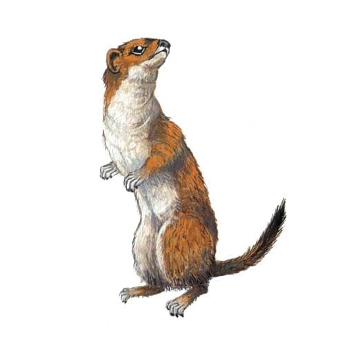 Stoat Illustration for product design