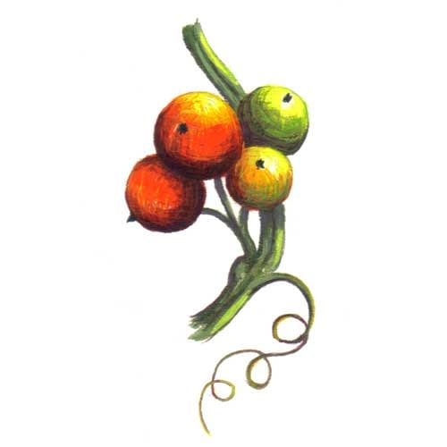Bryony Fruit Illustrations for product design