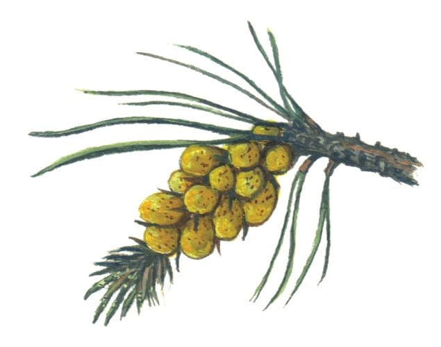 Pine Flowers - male illustration for product design