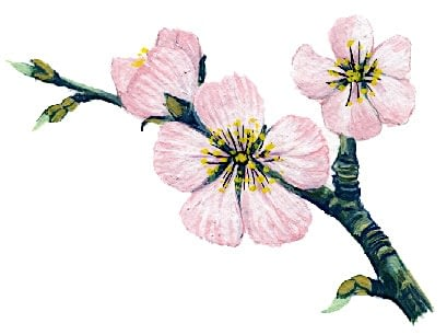 almond flowers Illustration for product design