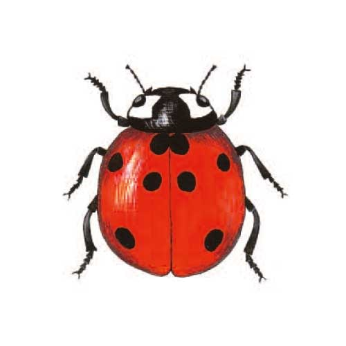 Ladybird illustration for product design