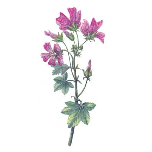 Mallow Plant illustration for product design