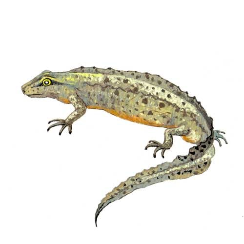 Smooth Newt Male Illustration for product design