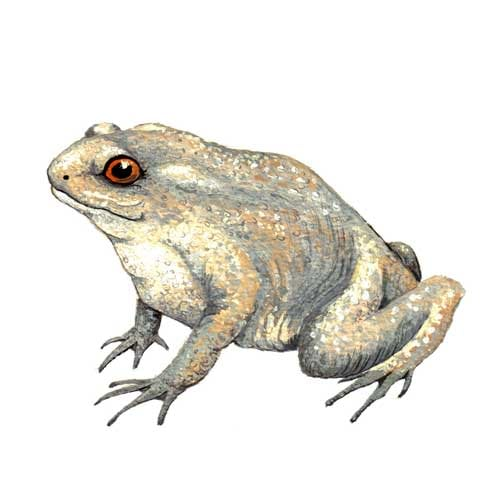 Toad Illustration for product design