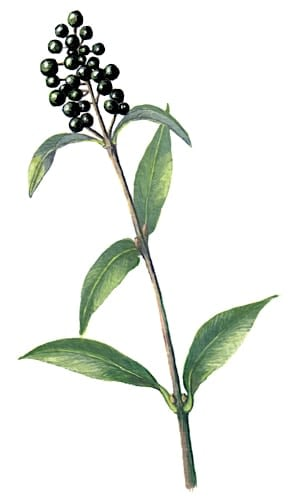 Privet Flower shoot Illustration for product design
