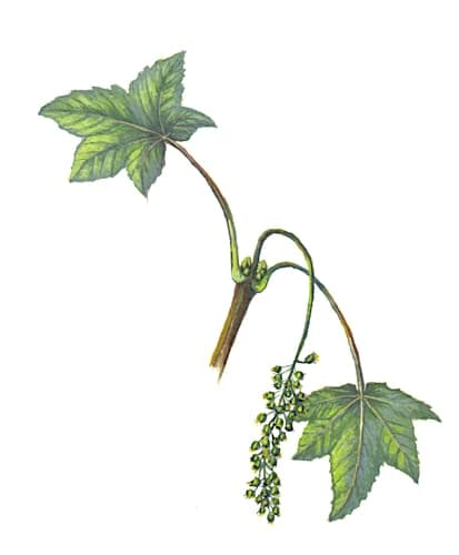 Sycamore Flowers Illustration for product design