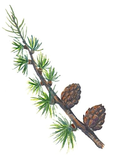 European Larch Branch Illustration for product design