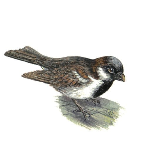house sparrow illustration for product design