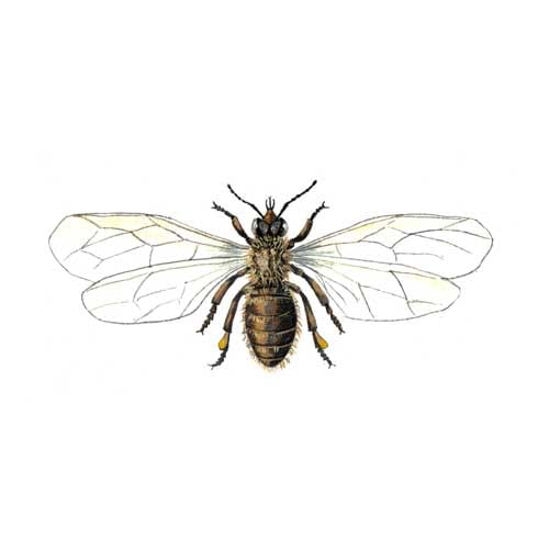Honeybee illustration for product design