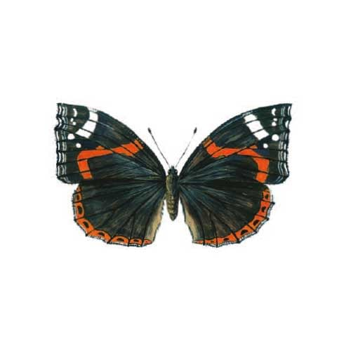 Red-admiral Butterfly Illustration Butterfly Illustration for product design
