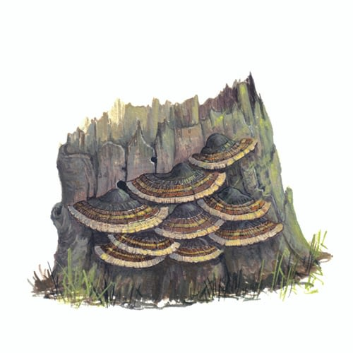 Turkeytail illustration for product design