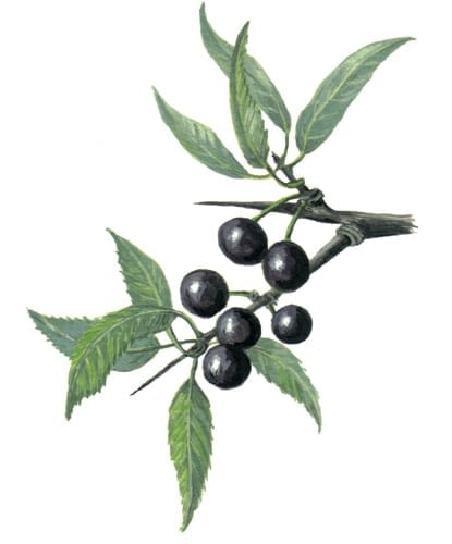 Blackthorn Fruits illustration for product design