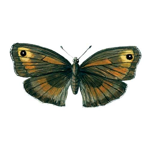 Meadowbrown Butterfly Illustration