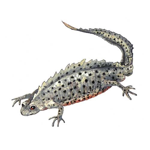 Great Crested Newt Male Illustration for product design