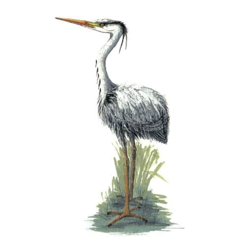 Heron illustration for product design