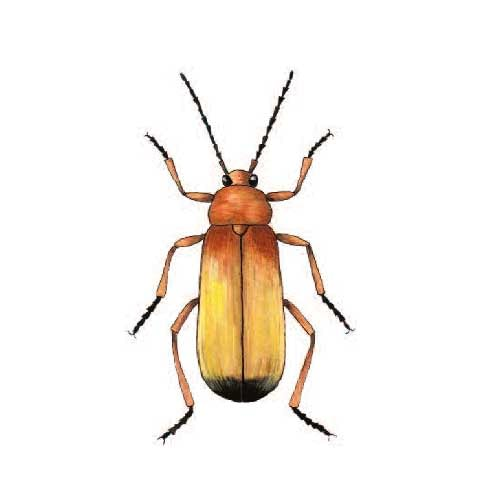 Soldier Beetle illustration for product design