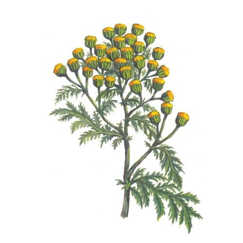 Tansey Plant illustration for product design