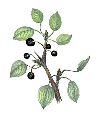 Blackthorn Fruit branch Illustration for product design