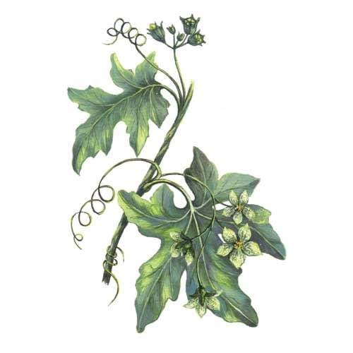 Bryony Plant Illustration Illustration for product design