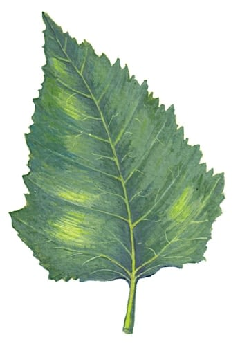 Silver Birch leaf Illustration for product design