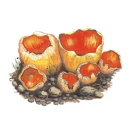 Cup fungi illustration for product design